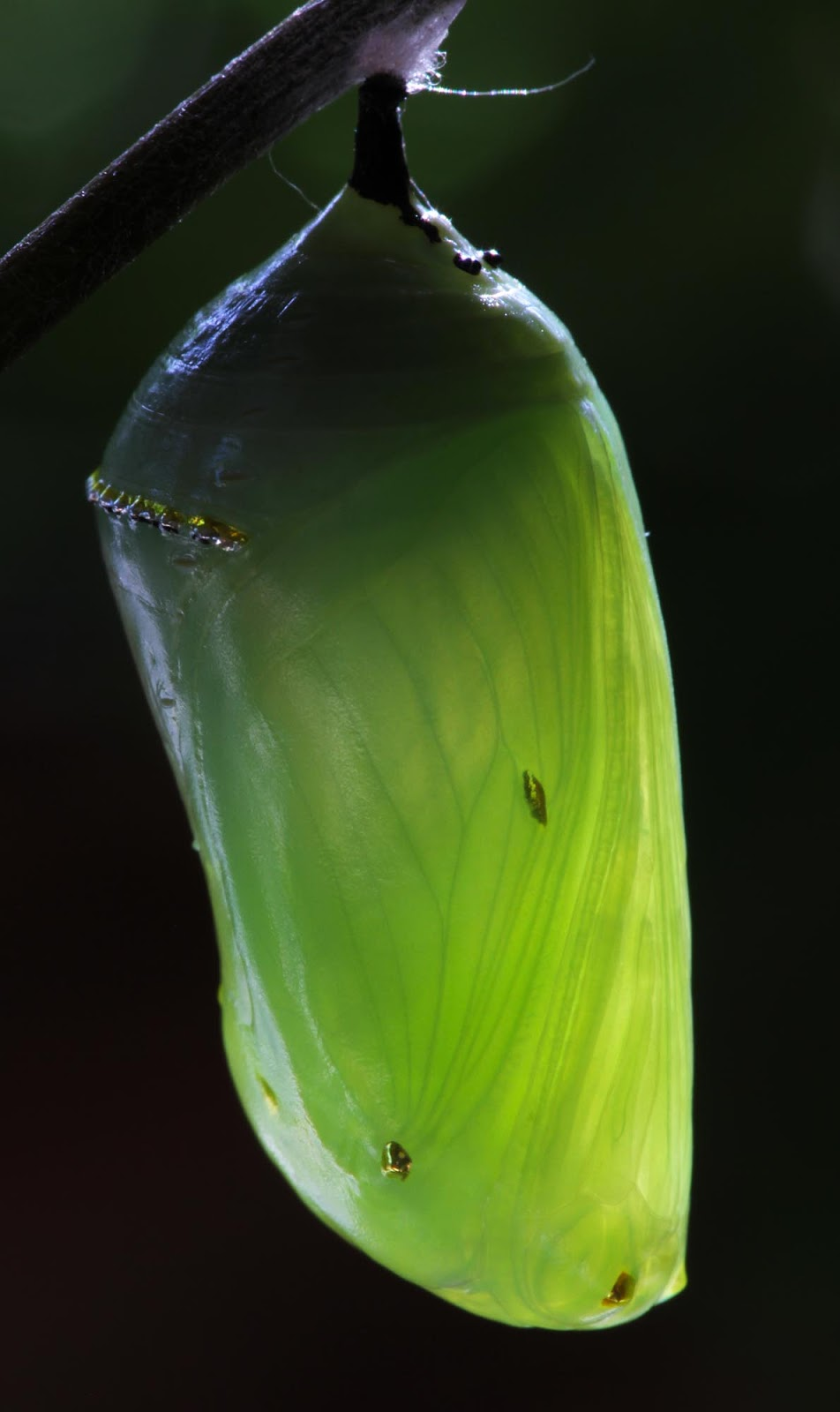 All of Nature: Monarch Caterpillar Changes to Chrysalis