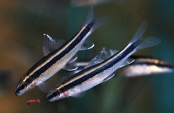 Siamese Flying Fox - Ikan Hias Pemakan Lumut aquarium