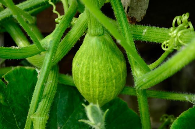 Green Pumpkin Plant