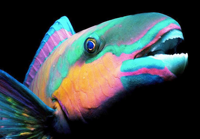 Dunia Ikan Hias - Ikan Kakaktua