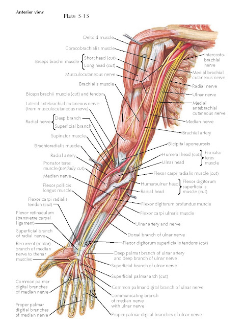 BLOOD SUPPLY OF FOREARM