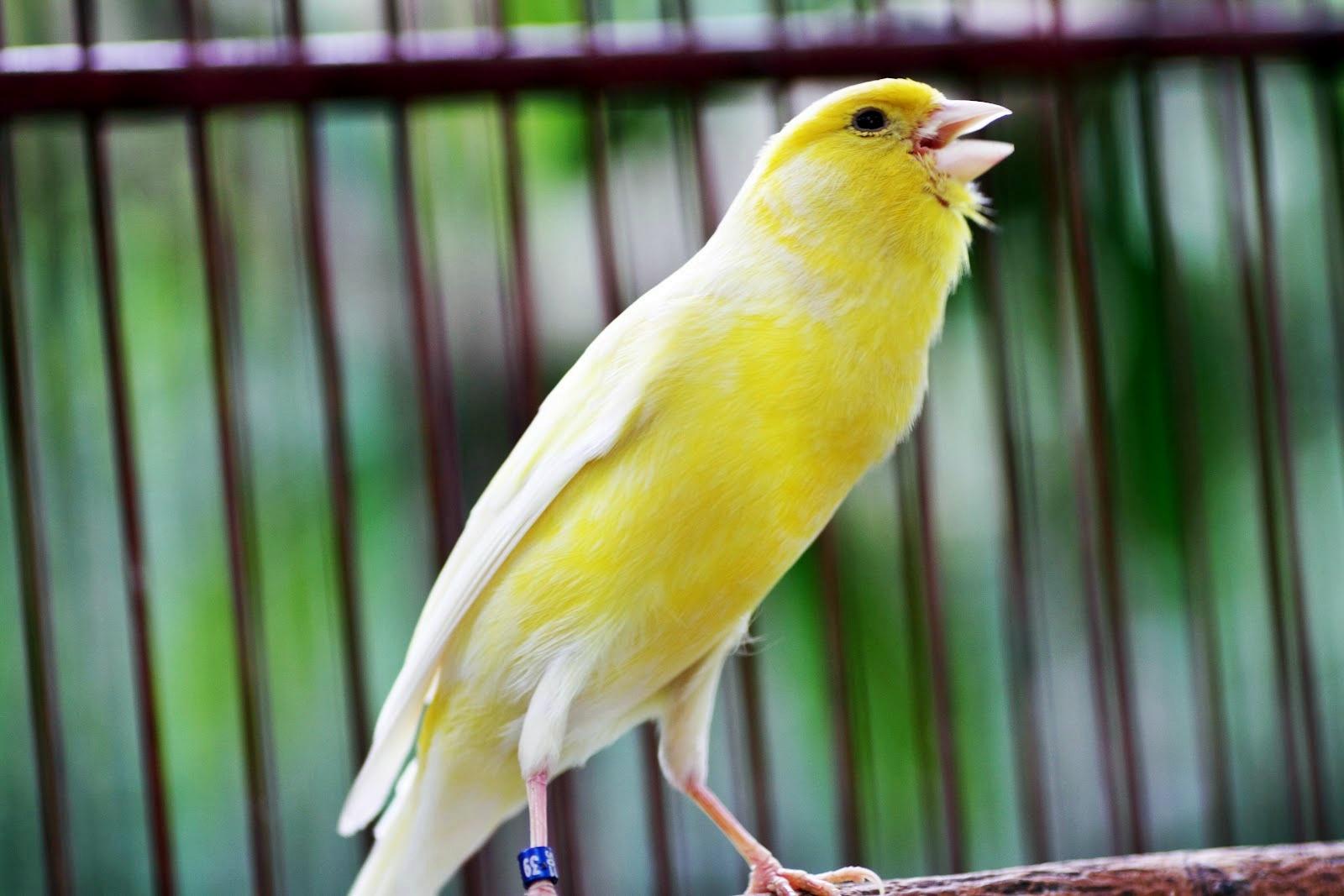 Harga Burung Kenari 2013 Icefilmsinfo Globolister Memasterkan Burung Kenari Ocehan Kenari