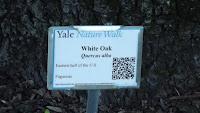 Giant white oak on Yale's Nature Walk - Marsh Botanical Garden, Yale University