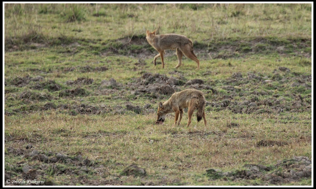 Breakfast time for Jackal at Kanha National Park