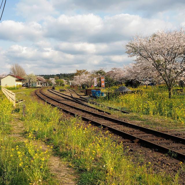 小湊鐵道 上総鶴舞駅 桜 菜の花