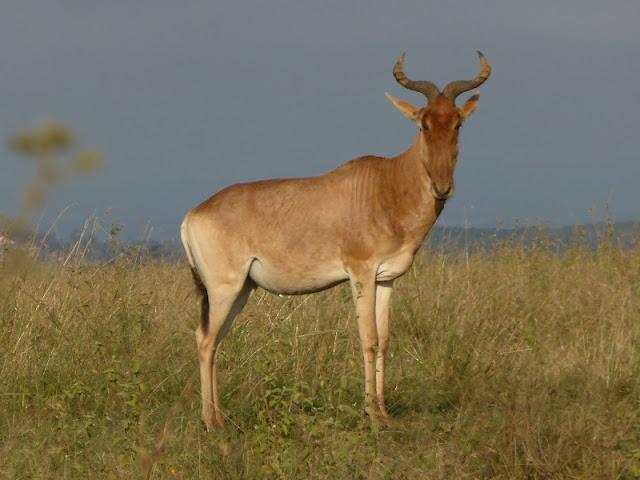 Nairobi National Park, Hartebeest