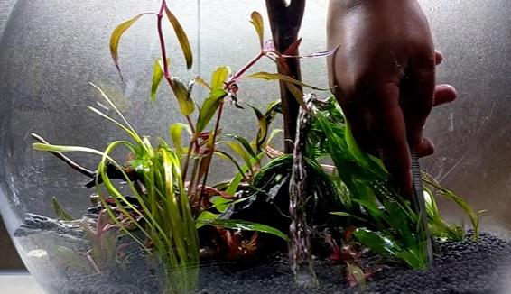 Planting Amazon Sword