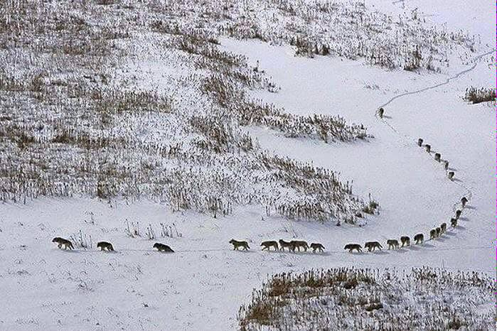 Belajar Kepemimpinan Dari Kelompok Serigala