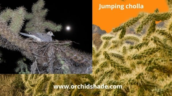 Jumping Cactus with Dove nest