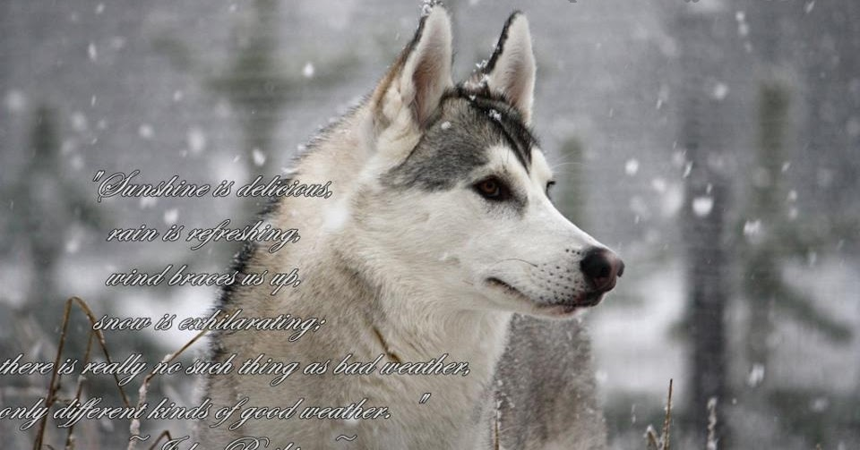 Dog Quote Wallpaper Husky Facts