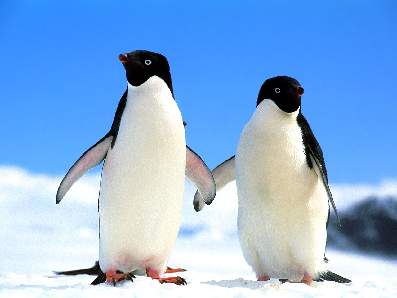 penguin animal penguins animals winter wallpapers desktop couple nature snow mighty north cutest backgrounds ever antarctic polar want mountain species