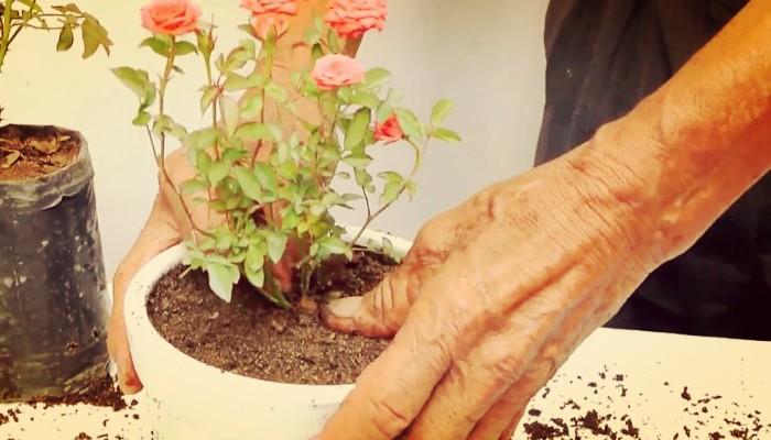 Bellas rosas de jardin