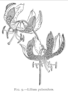 By F. A. Waugh - F. A. Waugh:A Conspectus of the Genus Lilium (Concluded), May 1899, in: Botanical Gazette, Vol. 27, No. 5, p. 343, Public Domain, https://commons.wikimedia.org/w/index.php?curid=2073789
