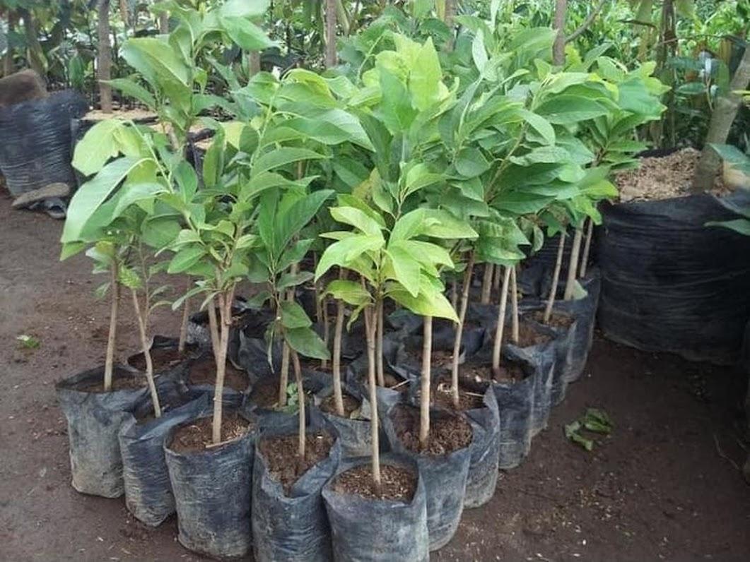 Bibit Tanaman Srikaya Merah Sulawesi Selatan