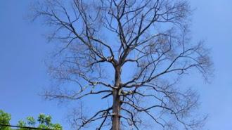 """Pohon """"Kemenyan"""" Berusia 150 Tahun di Purwasari di Tebas Damkar"""