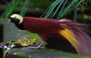 burung terindah cenderawasih dan terkenal di indonesia