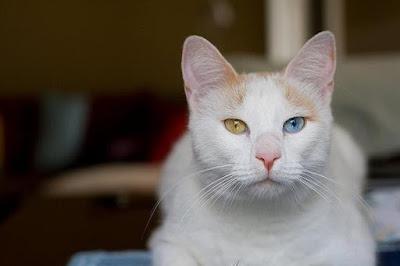 Sifat Kucing Anatolian