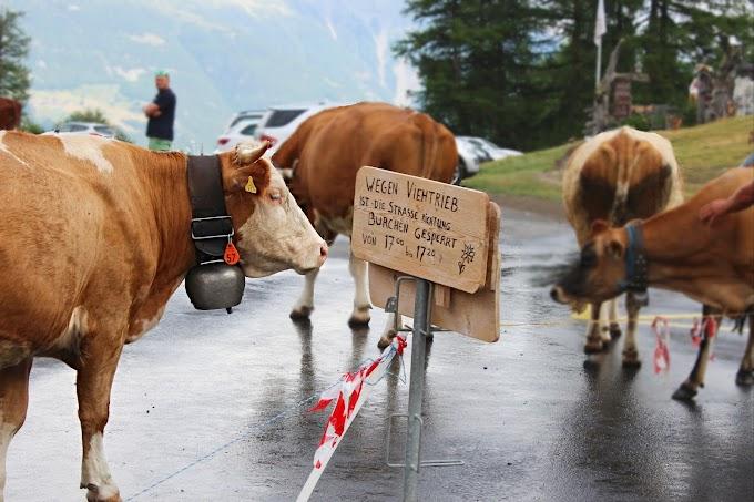 Traditionele taferelen op de Moosalp in Zwitserland: de koeien zien terugkomen van de alpenweide