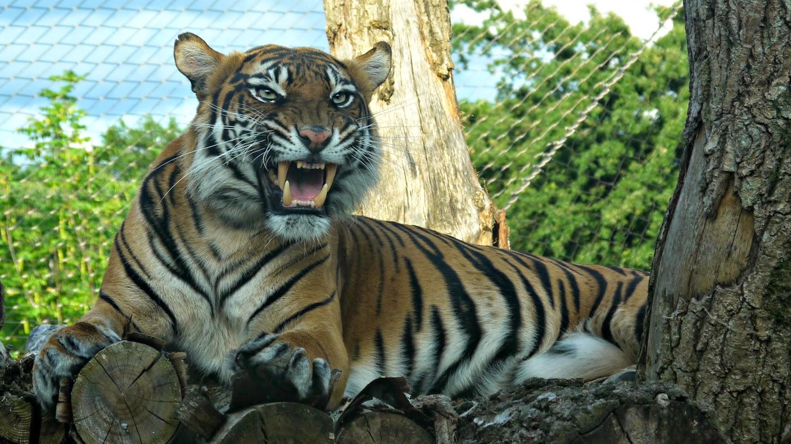 London Zoo lates tiger