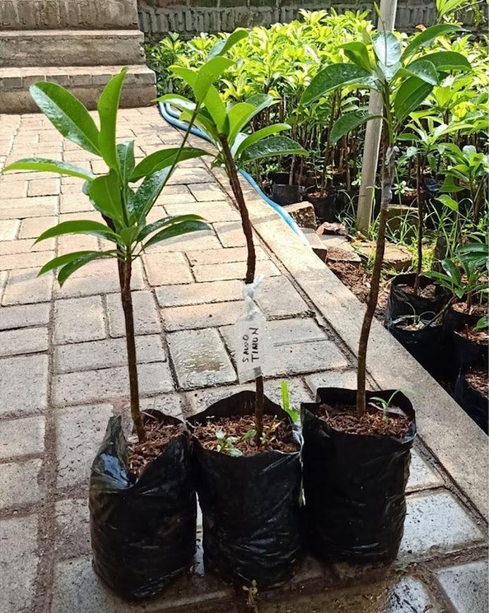 Bibit tanaman sawo mentimun jumbo hasil stek okulasi cepat berbuah Sulawesi Selatan