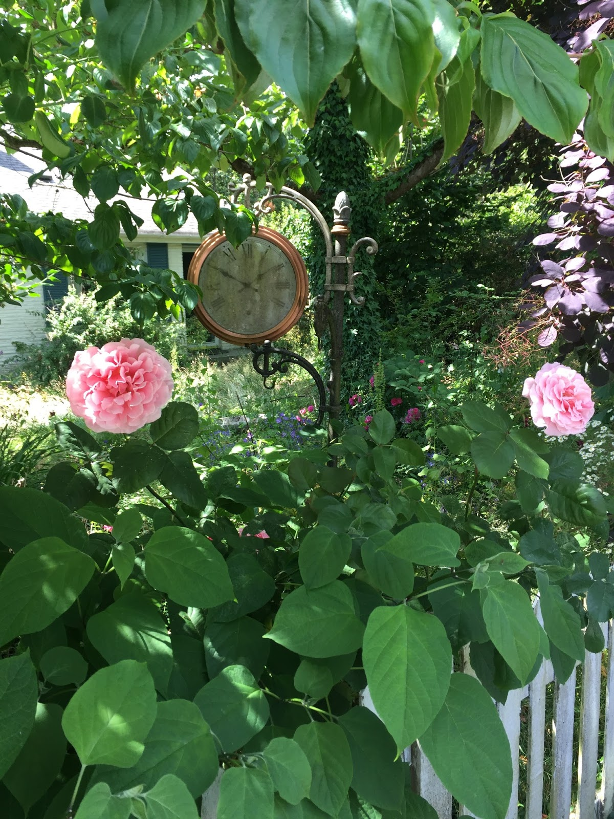 Shoreline Area News Photos Two Different Kinds Of Frilly Pink Flowers