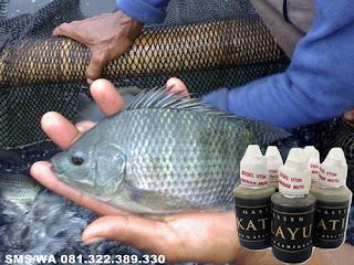 Umpan Untuk Ikan Nila Kilo[Gebrus Master Essen Katilayu