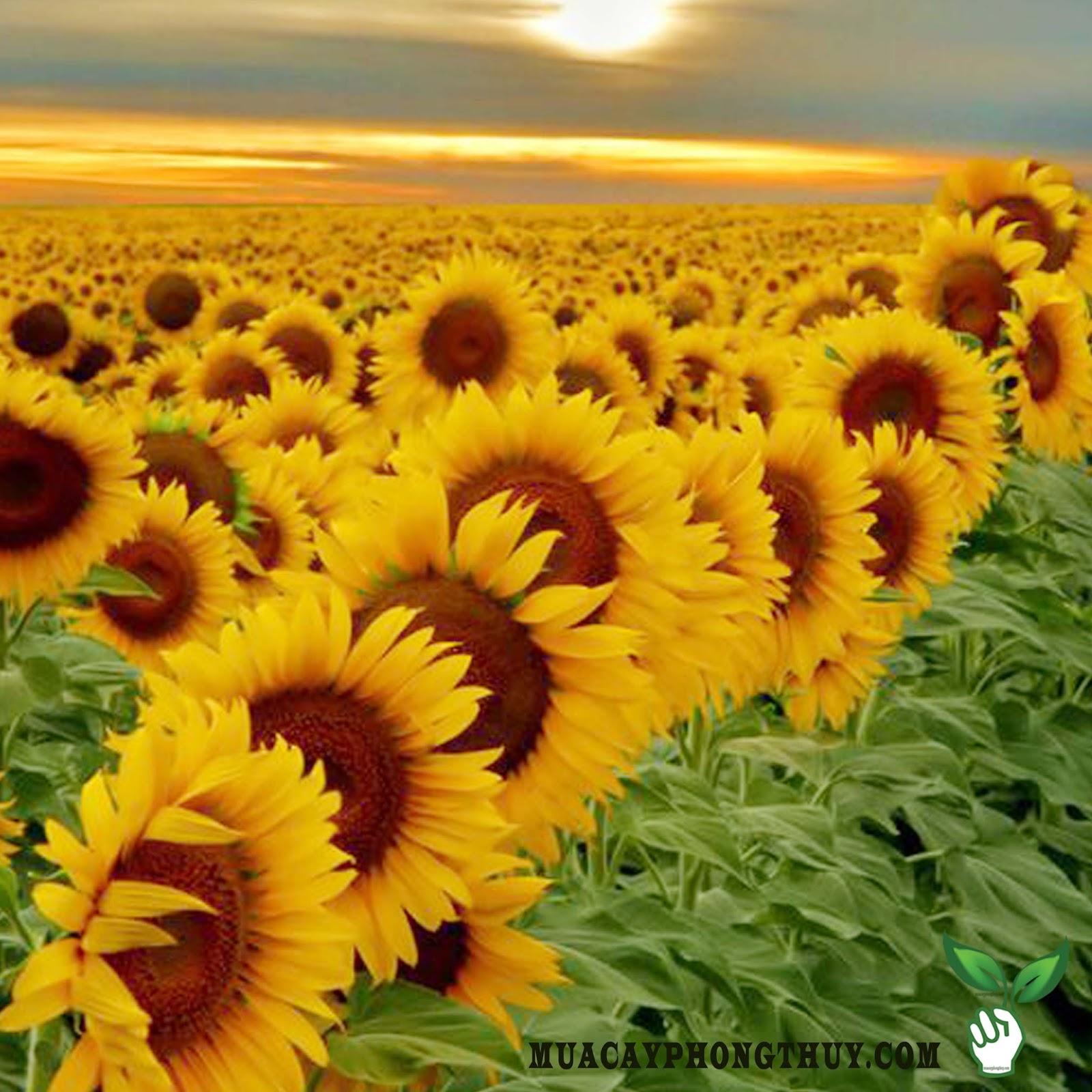 Hoa hướng dương ngày Tết | MUA CÂY PHONG THỦY