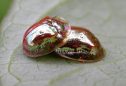 Two Golden Tortoise Beetle, in metallic and red shades, mating on a white leaf with green veins.
