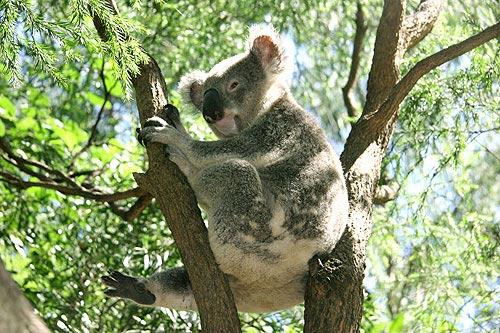 Kehidupan Dewasa Koala