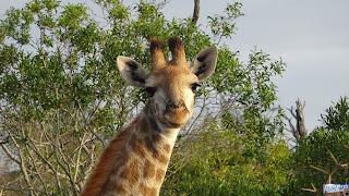 Safari Mkhaya Game Reserve du Swaziland Girafe