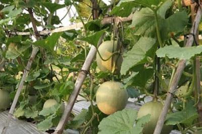 Cara Menanam Melon Secara Vertikal