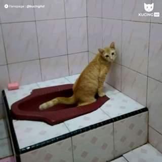 kucing oren eek di wc