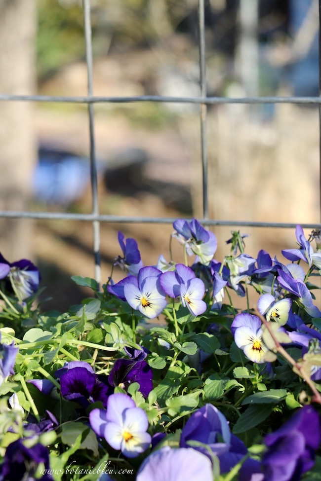Winter blooming pansies and violas have an abundance of blooms all winter