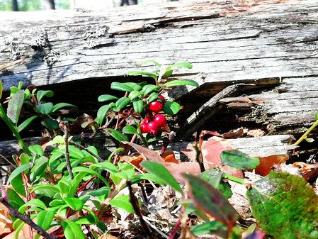 Vanhan ja harmautuneen kaatuneen kelon vierellä kasvaa puolukka punaisin marjoin.