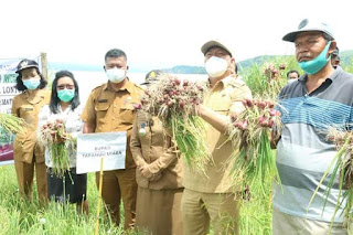 Luar Biasa, Bupati Taput Panen Perdana Penangkar Benih Bawang Merah dengan Hasil 25 Ton/Hektar