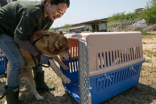 Dozzine di cani salvate dal mattatoio in Corea del Sud dall'associazione dei animali