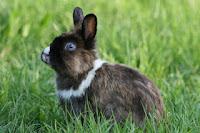 Faut-il donner de l'herbe à son lapin ?