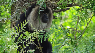 Lion-tailed macaque on a tree at Valparai