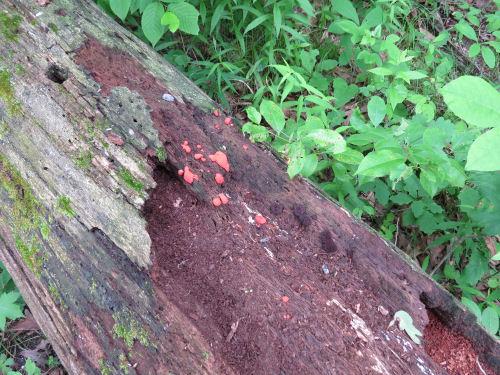 slime mold on a log