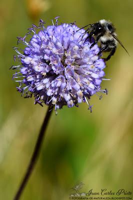 Succisella Inflexa  (fotografia-de-naturaleza.blogspot.com)