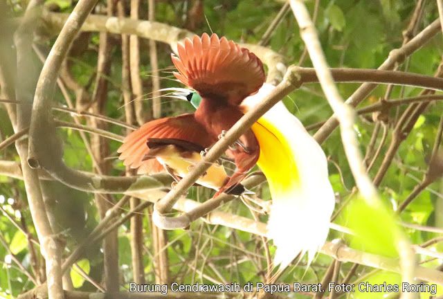 Burung Cendrawasih di Papua Barat