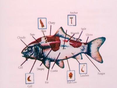 Gambar Cara Menang Kontes Ikan Koi Dan Cara Mencegah Serta Mengobati Penyakit Ikan Koi