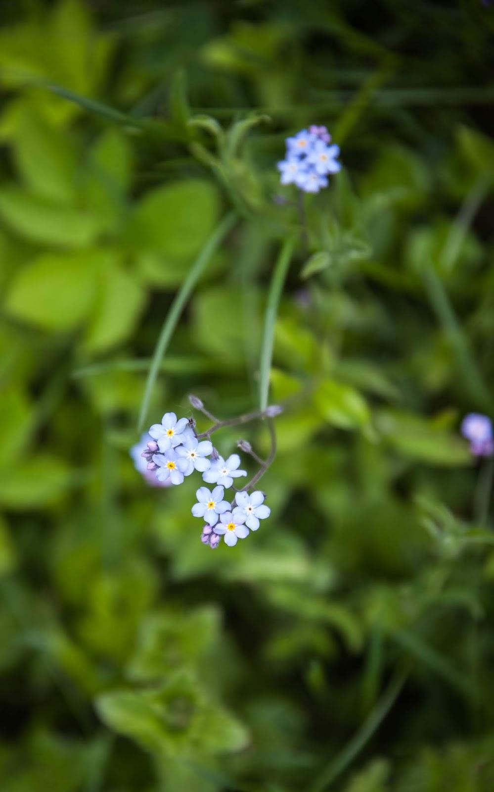lemmikki kukka kesä suomi