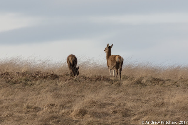 A hind and calf graze together, with yellow moorland grass and clouds in the background.