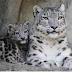 Vitória! Leopardo-das-Neves não mais está sob perigo de extinção!