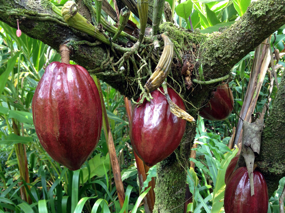 Piante Di Cacao : Dove cresce la pianta del cacao theobroma il