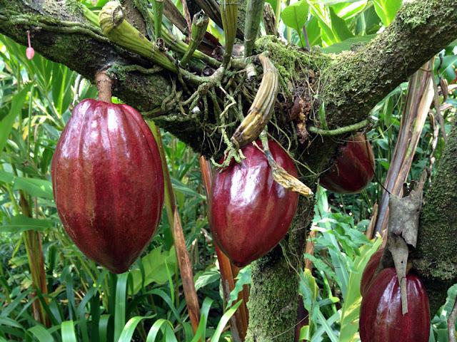 Frutti di Cacao