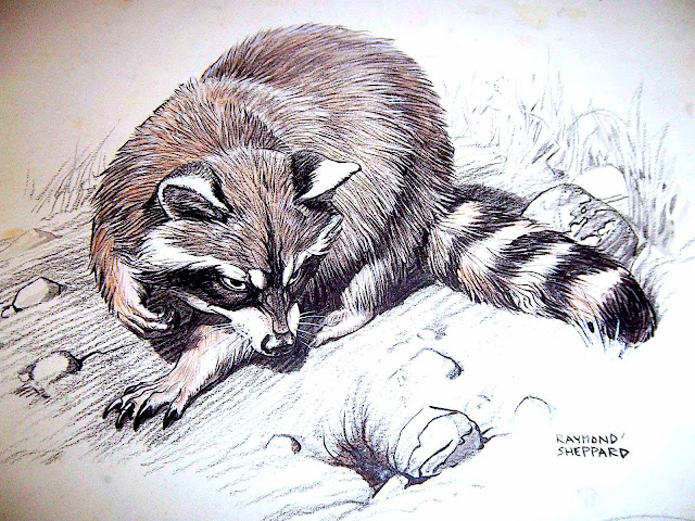 a Raymond Sheppard illustration of a raccoon
