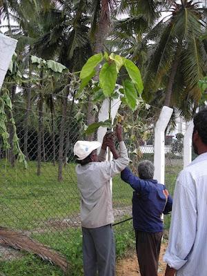 Bandaging the Buddha's Coconut tree in 2011
