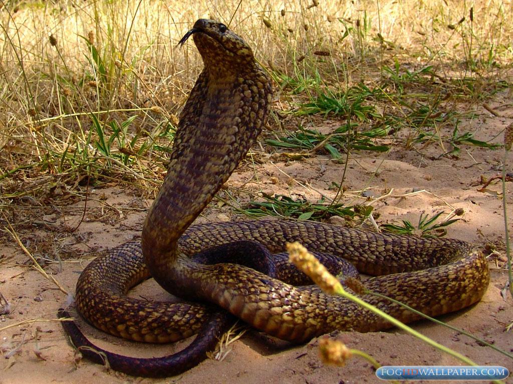 King Snake Hd Pictures Fantastic Snake Wallpaper
